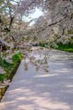 Il fossato esterno ha riempito di fiore di ciliegia petalsmay è chiamato ` di Hanaikada del ` o tappeto della ciliegia al parco d Fotografia Stock