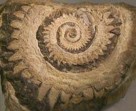 Il fossile ?del ronzio ha veduto? lo squalo del dente fotografia stock