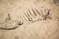 Il fossile di dinosauro ha trovato, osso primitivo degli animali in sabbia fotografia stock libera da diritti