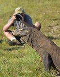 Il fotografo ed il drago di Komodo fotografia stock
