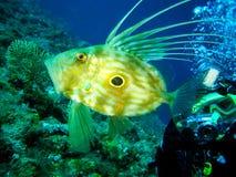 Il fotografo subacqueo sta prendendo l'immagine di un pesce di Faber dello zeus Fotografia Stock Libera da Diritti