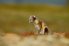 Il Fox artico, il lagopus di vulpes, due giovani, nell'habitat della natura, erba il prato con i fiori, le Svalbard, Norvegia immagini stock
