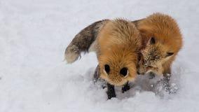 Il Fox di Brown era addormentato e camminante sulla terra della neve Fotografia Stock