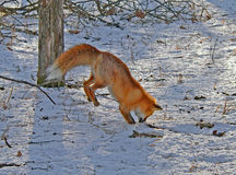 Il Fox rosso è caccia 2 Fotografie Stock