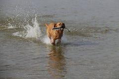 Il Fox rosso Labrador Retriver recupera il manichino dal lago immagini stock