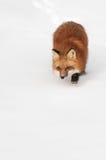 Il Fox rosso (vulpes di vulpes) vaga in cerca di preda il fondo dello spazio della copia Immagini Stock