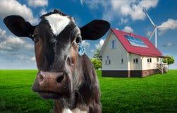 Il francese intimorisce una fine della mucca su Immagine Stock