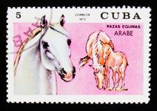 Il francobollo di Cuba mostra il caballus arabo di ferus di equus del cavallo, serie delle razze del cavallo, circa 1972 Fotografia Stock