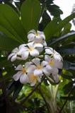 Il frangipane bianco fotografia stock libera da diritti