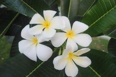 Il frangipane bianco e giallo fiorisce il fuoco selettivo Fotografia Stock Libera da Diritti