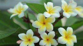 Il frangipane di plumeria fiorisce filtrando l'alta definizione video d archivio