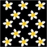 Il frangipane di plumeria fiorisce il fondo nero Immagine Stock