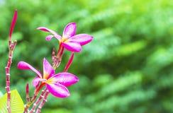 Il frangipane rosa fiorisce nei precedenti della natura del giardino Immagine Stock Libera da Diritti