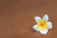Il frangipani bianco e giallo fiorisce sulla sabbia marrone Immagini Stock