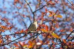 Il fringillide canta su un ramo della mela Immagine Stock