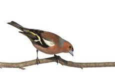 il fringuello dell'uccello su un ramo nel parco su un bianco ha isolato il fondo Immagine Stock