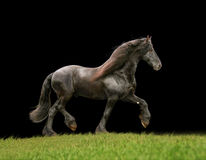 Il frisone libera il cavallo Fotografie Stock Libere da Diritti