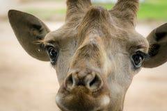 Il fronte adorabile della giraffa è molto sveglio fotografia stock libera da diritti