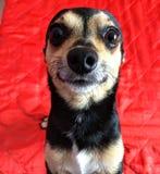 Il fronte del cane che agisce naturalmente fotografie stock libere da diritti