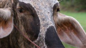 Il fronte del ` s della mucca Fotografia Stock