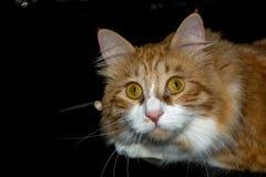Il fronte del ` s del gatto di Brown con giallo osserva su fondo profondo nero Immagini Stock Libere da Diritti