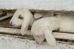 Il fronte delle pecore che emergono dalla stalla, pecora in stalla fotografie stock