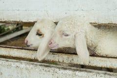 Il fronte delle pecore che emergono dalla stalla, pecora in stalla fotografie stock libere da diritti