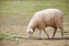 Il fronte delle pecore merino nell'uso dell'azienda agricola del ranch per gli animali da allevamento e vive Fotografia Stock