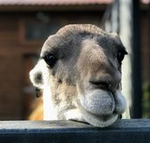 Il fronte di un lama n dell'alpaga fotografia stock