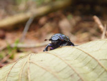 Il fronte di uno scarabeo Fotografia Stock