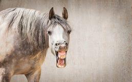 Il fronte divertente del cavallo con Open ha detto osservare in camera il fondo grigio Immagine Stock Libera da Diritti