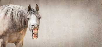 Il fronte divertente del cavallo con Open ha detto osservare in camera il fondo grigio, posto per testo Immagini Stock