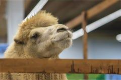 Il fronte divertente importante del cammello sporge tramite un recinto di legno dentro l'azienda agricola fotografia stock