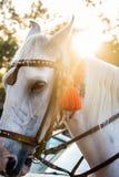 Il fronte e la criniera del bello stallone bianco fotografia stock