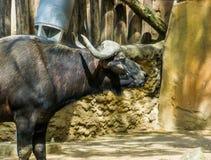 Il fronte ed il collo di un bufalo del capo, bovino tropicale dall'Africa, animale da allevamento domestico fotografie stock libere da diritti