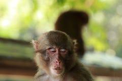 Il fronte selvaggio del ` s della scimmia, scimmia selvaggia di A si è riunito al posto d'alimentazione dello zoo naturale di Tak immagini stock