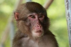 Il fronte selvaggio del ` s della scimmia, scimmia selvaggia di A si è riunito al posto d'alimentazione dello zoo naturale di Tak immagine stock