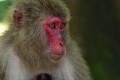 Il fronte selvaggio del ` s della scimmia, scimmia selvaggia di A si è riunito al posto d'alimentazione dello zoo naturale di Tak fotografia stock