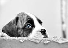 Il fronte triste osserva il piccolo cucciolo di cane del pugile che spera di essere scelto per la nuova casa di forever fotografia stock