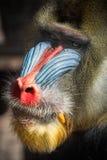 Il fronte variopinto del mandrillo guarda dettagliatamente immagini stock
