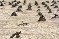 Il frutteto che assomiglia ad un campo indiano, i rami è impilato in piramide Immagini Stock Libere da Diritti