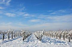 Il frutteto ha proiettato sul campo di neve Fotografia Stock