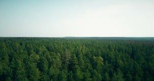 Il fuco che vola in avanti ed aumenta sopra la prospettiva aerea di apertura 4K della foresta ventosa degli alberi verde chiaro e archivi video