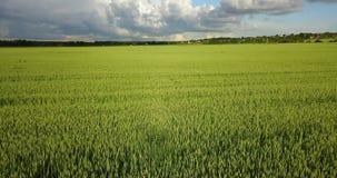 Il fuco vola lungo il campo con le orecchie verdi di grano al giorno soleggiato dell'estate contro lo sfondo del cielo blu con video d archivio