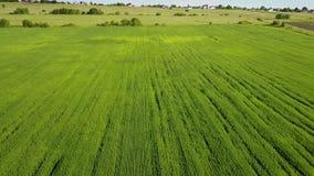 Il fuco vola lungo il campo con le orecchie verdi di grano al giorno soleggiato dell'estate contro lo sfondo del cielo blu con archivi video