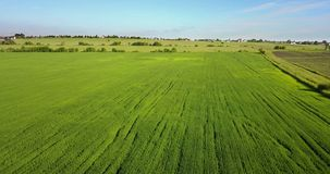 Il fuco vola lungo il campo con le orecchie verdi di grano al giorno soleggiato dell'estate contro lo sfondo del cielo blu con i  video d archivio