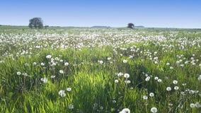 Il fuco vola a piccola altezza lungo il campo con i denti di leone bianchi al giorno di estate soleggiato archivi video
