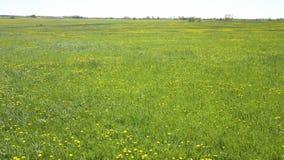 Il fuco vola a piccola altezza sopra il campo con i denti di leone gialli al giorno di estate soleggiato stock footage