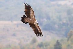 Il fulvus dei Gyps dell'avvoltoio sta volando Fotografie Stock Libere da Diritti