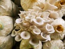 Il fungo che coltiva in Tailandia immagini stock libere da diritti